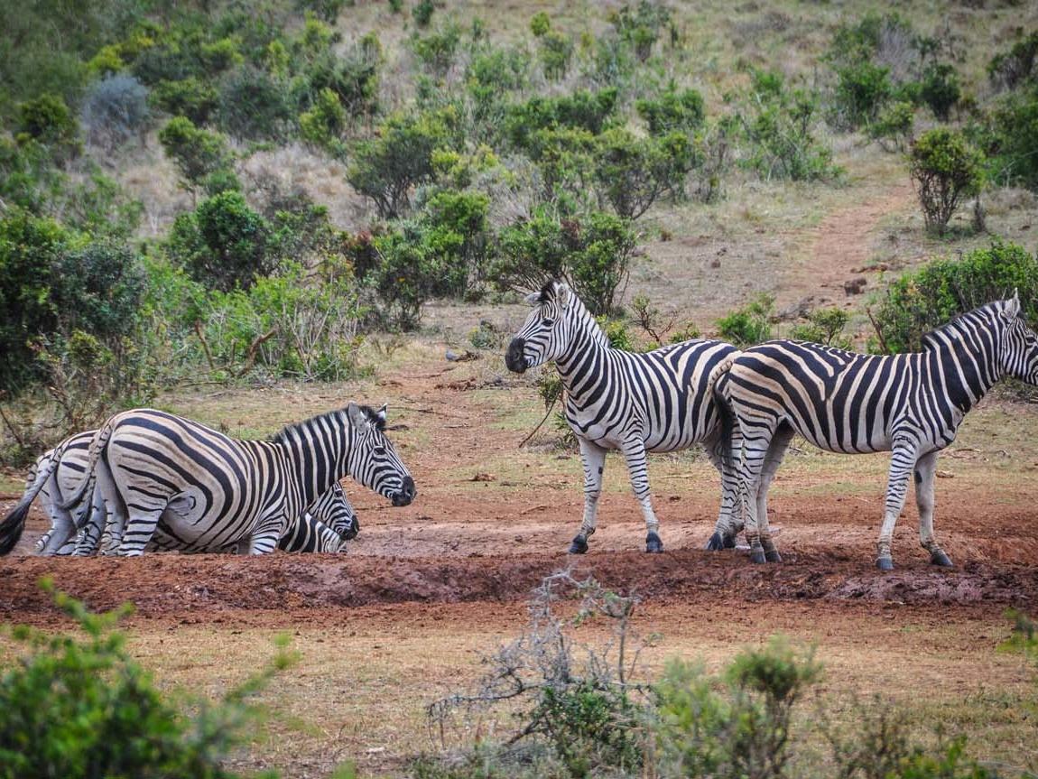 Südafrika_Zebras